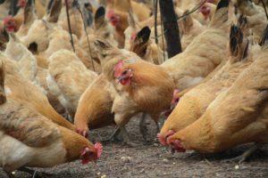chicken-2258506_1920